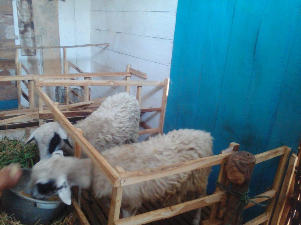 kambing terbaik aqiqah permata