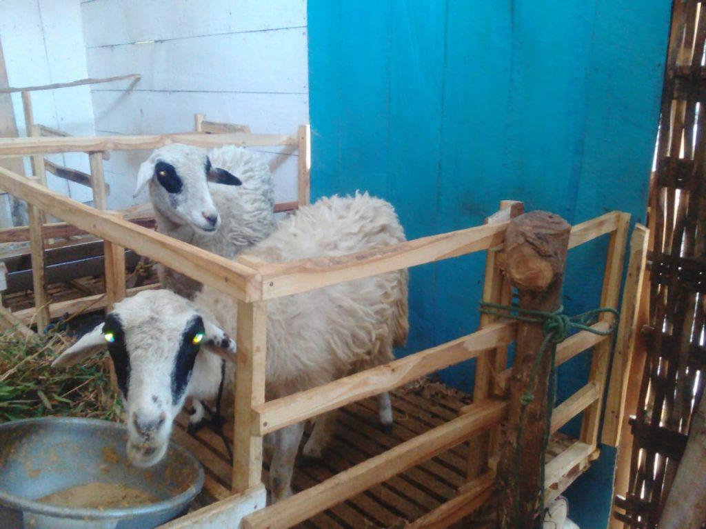 kambing terbaik aqiqah permata bojonegoro